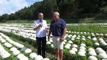 Alpes-de-Haute-Provence : à Mane, chaque année trois millions de salades se ramassent à la chaîne