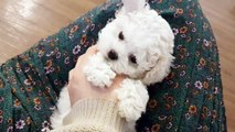 Bichon frise running speed so fast!! - Teacup puppies KimsKennelUS