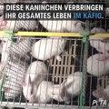 """Für """"Orylag-Pelz"""" werden Kaninchen gequält / PETA"""