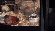 Dwarf Hamsters Robrovski Hamster