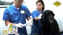 Cómo curar la otitis en un gato. Medicamento para la otitis felina.