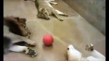 Juste 3 très gros chats qui jouent à la balle...