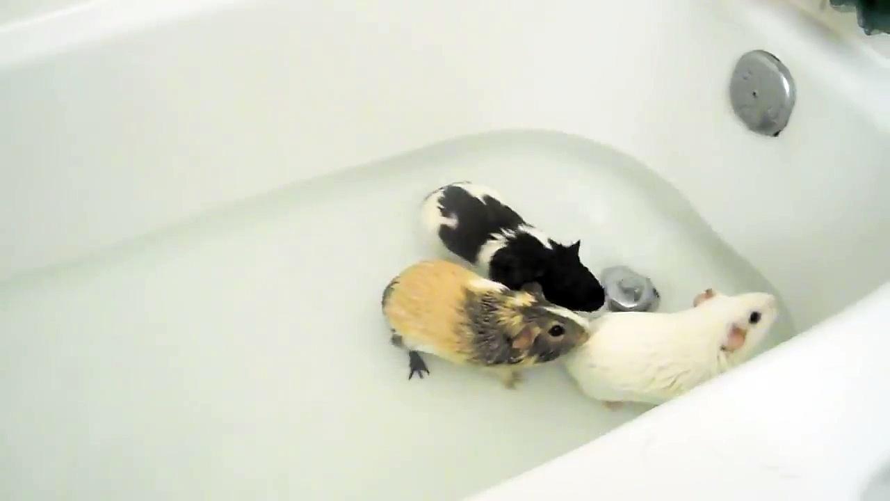 Guinea Pig Tub Time
