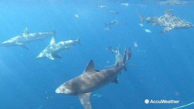 Shark Week: AccuWeather's Jonathan Petramala goes swimming with sharks in Florida
