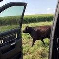 Kiki Challenge with a cow / Kiki Challenge avec une vache