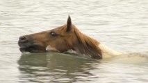 Virginie : voici la traversée annuelle de poneys sauvages sur l'île de Chincoteague