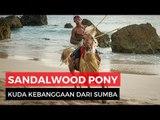Kuda Sandalwood, Kuda Terbaik dari Sumba
