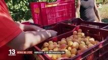 Série de l'été : l'abricot, l'or du Roussillon