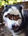 A husky with a butterfly on his head / Un husky avec un papillon sur la tête