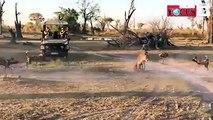 Ein Rudel hungriger Wildhunde umkreist eine Löwin und ihr Baby. Erst stellt sich Mutter schützend vor ihr Junges. Dann greift sie einen der Wildhunde an. Der Re