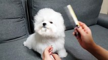 Bichon frise puppy grooming - Teacup puppies KimsKennelUS