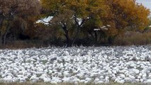 Snow Geese of Bosque del Apache