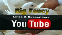 Frill back pigeons (brown white barr) fancy pigeons breeding (cages birds videos)