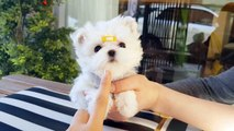 So tiny size lovely puppy maltese videos - Teacup puppies KimsKennelUS