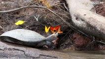 Sommerfugl drikker skilpadde-tårer i regnskogen i Amazonas