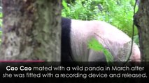 Giant panda gives birth to twin cubs