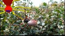 Araignée néphile Nephila inaurata ardentipes, Rodrigues, Maurice - Spider, Rodrigues, Mauritius