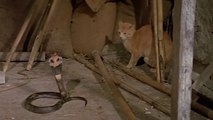 Cat Vs King Cobra Snake - Cat Tiger Attack King Cobra Real Fight - Tiger Attack Cobra Snake To Death