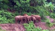Sauvetage d'un bébé éléphant par sa troupe alors qu'il glissait dans la boue vers le fleuve