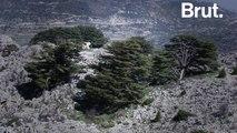 Le cèdre, emblème du Liban, est menacé...