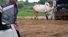 UFF KIA JUMPS MAARI HAIN  MUST WATCH  - Karachi Cow Mandi - Bakra Eid In Pakistan