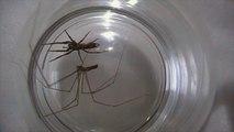 Daddy Longlegs vs White Tailed Spider