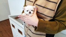Micro teacup maltese puppy girl for sale - Teacup puppies KimsKennelUS