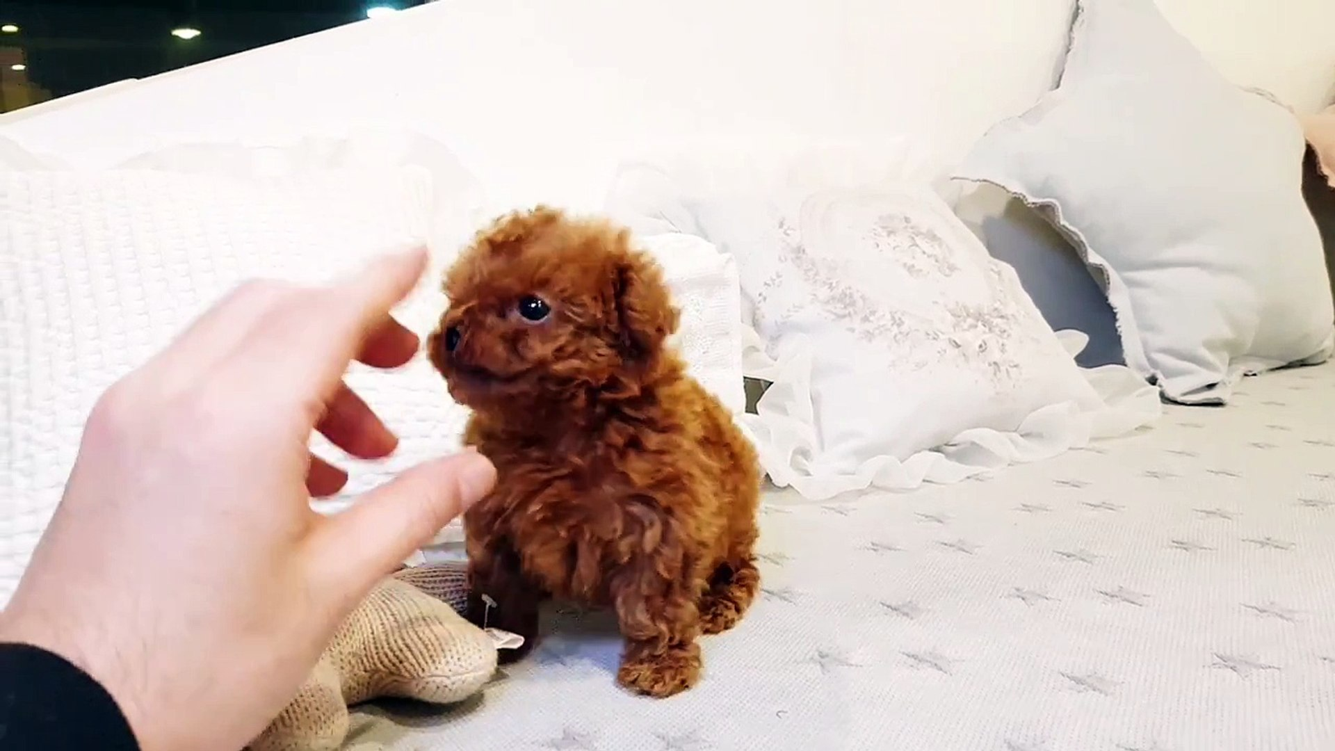 Micro Teacup Poodle Red Poodle Girl Teacup Puppies Kimskennelus