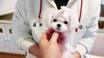 Teacup maltese puppy girl 4months - Teacup puppies KimsKennelUS