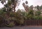 Large Tree Falls During Monsoon Storm in Phoenix, Arizona