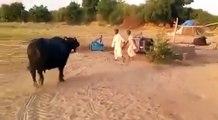 INTELLIGENT ANIMAL/BUFFALO AND HER OWENER / Sasan Gir /SWAS/GIR BHES/