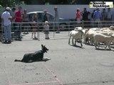 VIDEO. Journée du mouton à Saint-Benoît-du-Sault : dans les pas de Joss, chien de troupeau