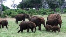 All About Elephants - Baby elephants playing, very cute funny!!!! African Safari Tsavo East Kenya