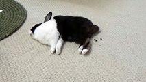Ce lapin dort... et fait des petites crottes ! Trop marrant !