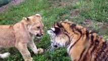 Adorable : un bébé lion et un bébe tigre se chamaillent comme des enfants