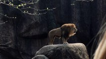 All About Lions - Epic Lion Roar at Lincoln Park Zoo
