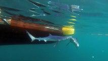 Sharks bump snorkeler off coast of Cornwall, UK