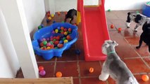 Watch How This Dog Res When He Sees A Ball Pit For The First Time