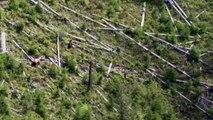 Ours femelle vs Ours mâle dans un arbre (Montana)