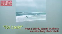 Video taken by Sean Wells shows a bizarre moment when a greedy seagull swallows an entire baby shark whole before he could offer any help. (Video: VCG)