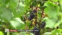 Vendanges : les viticulteurs s'inquiètent du manque de saisonniers