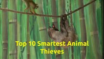 Top 10 Smartest Animal Thieves