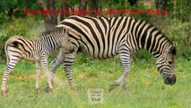 Zebra of Egypt Funny!!! Donkey Painted Zebra Egypt حمار الوحش المزور