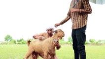 Bakra Eid 2018 Funny Video by Faraz Fictions - Bakra Mandi eid ul adha 2018