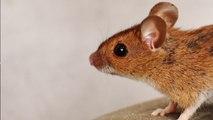 Home Remedies to get rid of Rats in Monsoon: बारिश में ऐसे भगाएं घर से चूहे, ये हैं उपाय   Boldsky