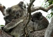 Extremely Rare Twin Koalas Spotted in South Australia