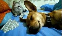 Les chats sont vraiment des fourbes! Pauvre chien qui dort...