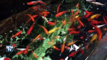 L'aquarium de Paris: un refuge pour poissons rouges