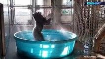 Pool-Party im Zoo von Dallas in Texas. Das Gorilla-Männchen Zola liebt das kühle Nass. Deswegen schenkten ihm Tierpfleger des Zoos einen Swimmingpool . Die Freu