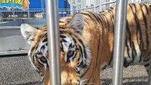 tigres et lions du cirque rome dans la piscine en  Haute-Savoie